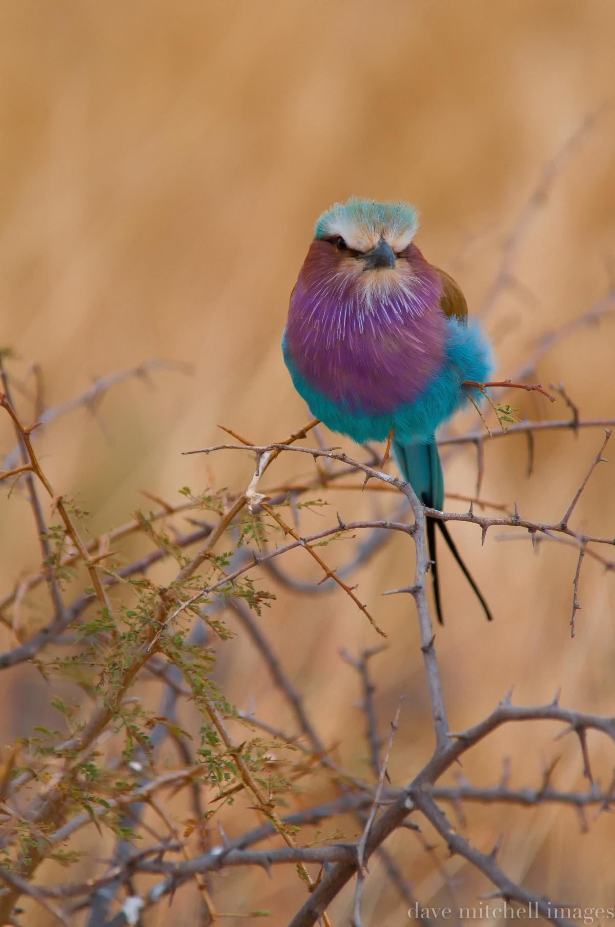 Blue Roller ... Serengeti ... Tanzania